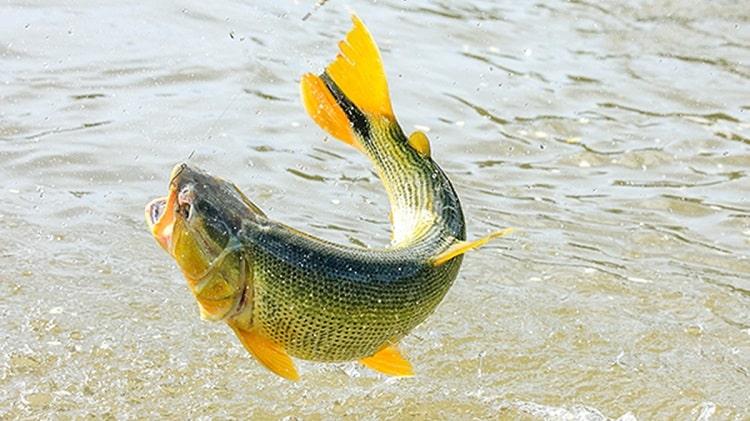 dourado rei do rio peixes de água doce