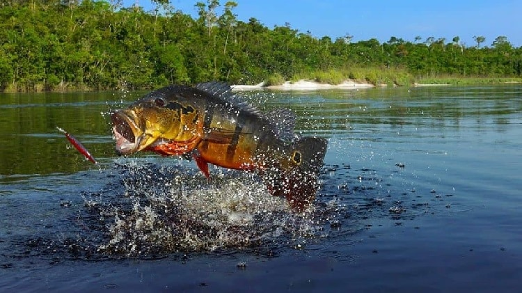 tucunaré peixes de água doce mais esportivos do brasil