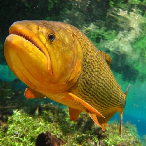 dourado é um peixe brasileiro de água doce ameaçado de extinção desde 2014