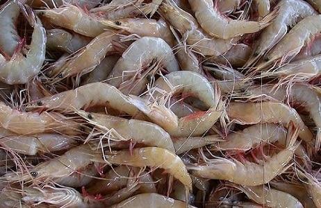 isca pesca de praia camarão