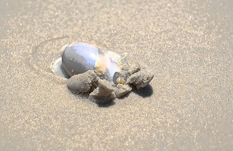 isca pesca de praia caramujo