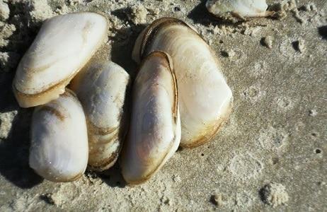 isca pesca de praia marisco