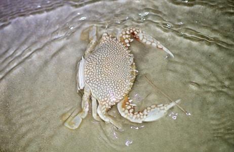 crustáceo marinho siri