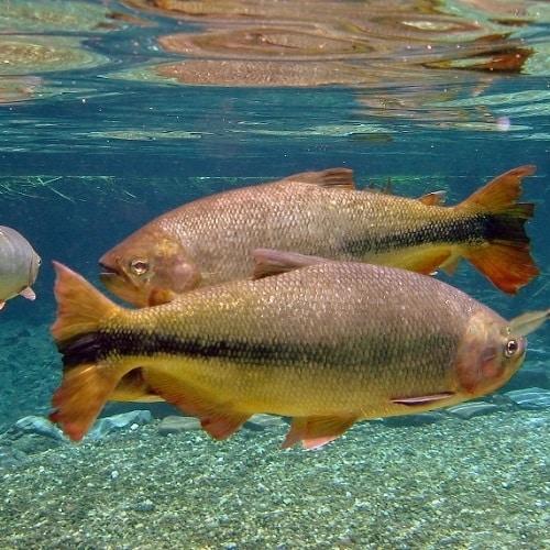 piracanjuba é um peixe brasileiro de água doce ameaçado de extinção desde 2014