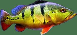 sobre o tucunaré peixe esportivo do Brasil