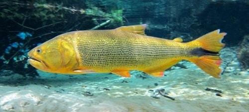 dourado preservar peixes