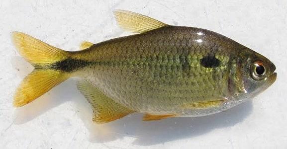 lambari isca para pesca de água doce