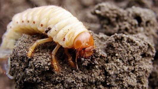 larva de besouro bicho do pau podre