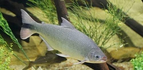 piracanjuba preservar peixes