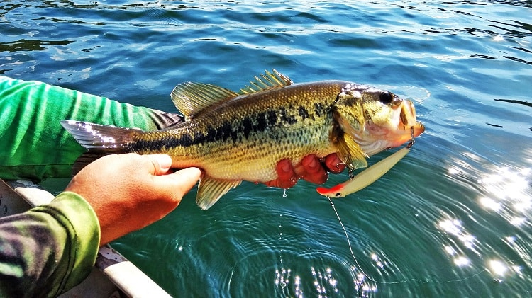 black bass peixes incríveis
