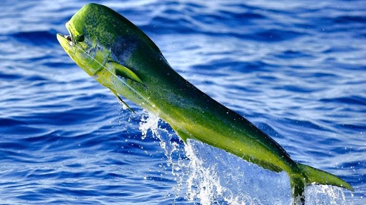 dourado do mar peixes incríveis
