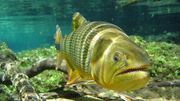 dourado peixes incríveis
