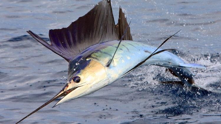 peixe vela sailfish peixes incríveis