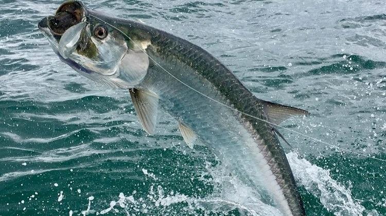 tarpon tarpão pirapema peixes incríveis