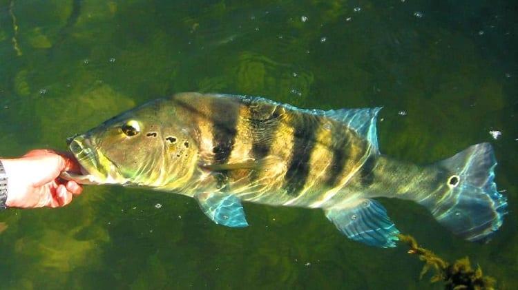 tucunaré peixes incríveis
