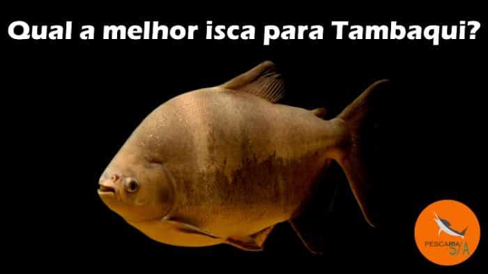 como pescar tambaqui? conheça as melhores iscas para tambaqui