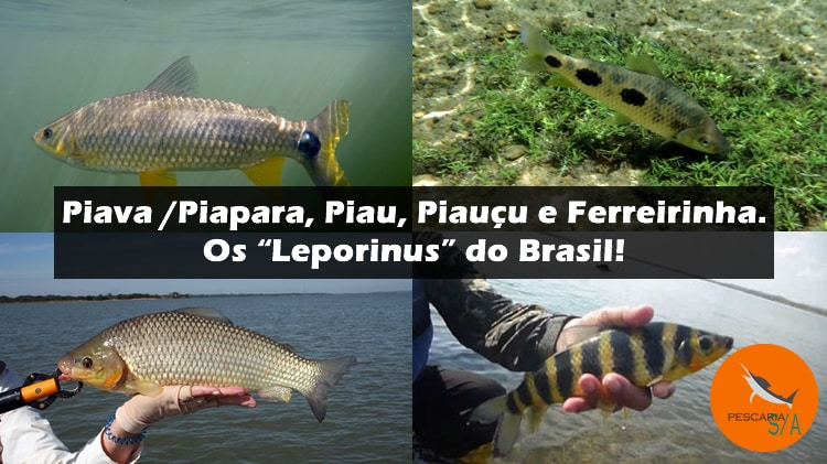 Piava/Piapara, Piau, Piauçu e Ferreirinha – Os Leporinus do Brasil