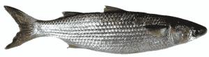 peixe tainha como pescar