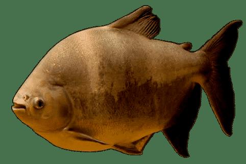 tambaqui peixe como pescar