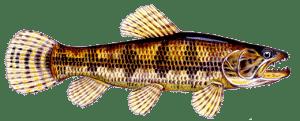 peixes mais cobiçados por pescadores de pesqueiros traíra