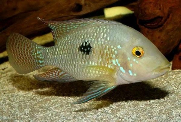 cará ou acará peixe comum