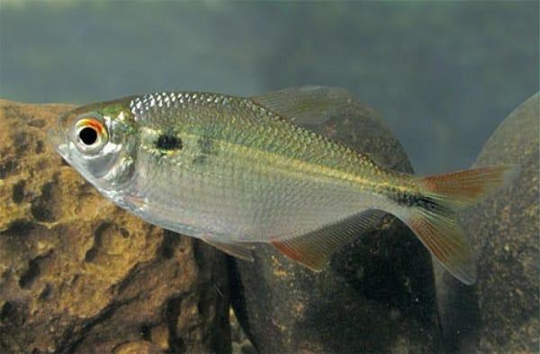 lambari peixes mais comuns