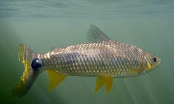 piava piapara ou piau peixes mais comuns