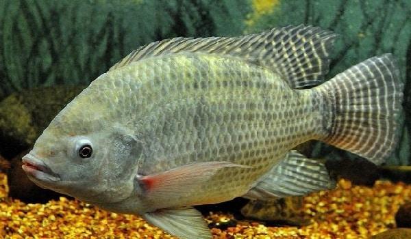 tilápia peixes mais comuns