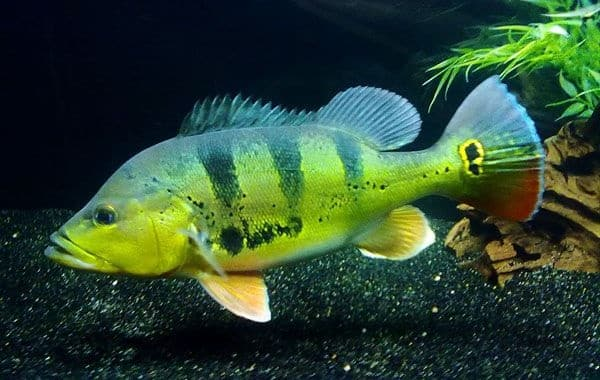 tucunaré peixe comum