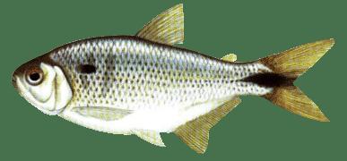 pequenos peixes é uma das iscas que funcionam em qualquer lugar do mundo