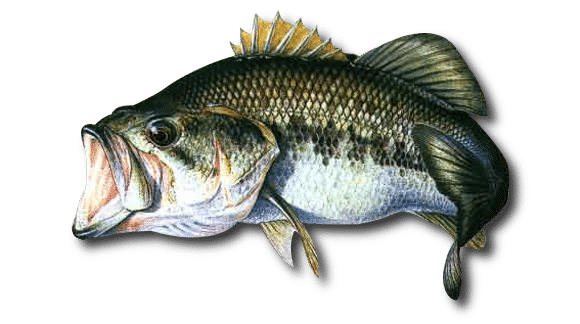 black bass freshwater fish