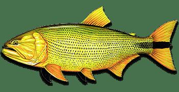dourado salminus freshwater fish