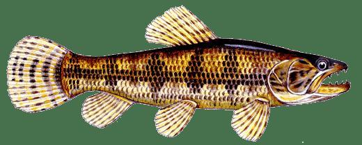 trairão hoplias lacerdae brazilian wolf fish