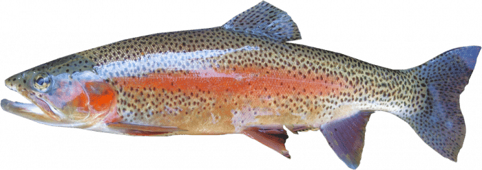 rainbow trout freshwater fish