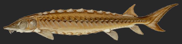 sturgeon freshwater fish