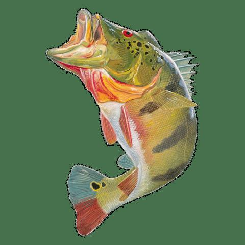 peacock bass tucunaré freshwater fish