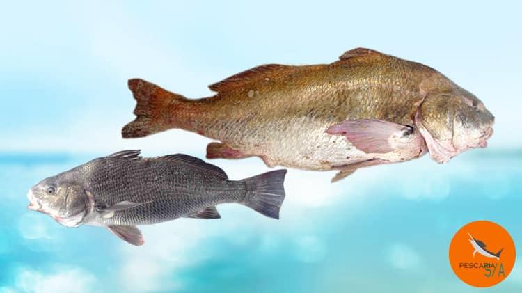 Diferença entre Burriquete e Miraguaia e como pescar