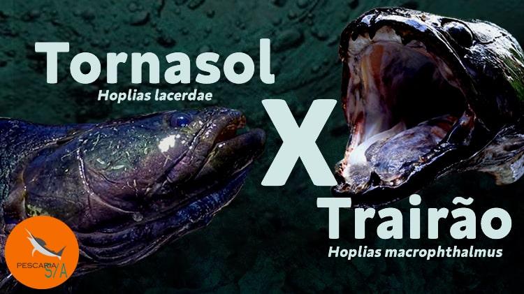 trairão tornaxol hoplias lacerdae x trairão amazônico hoplias macrophthalmus ou hoplias aimara