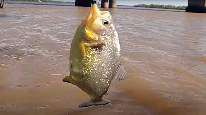 surgimento de palometas preocupa autoridades ambientais e pescadores do rs