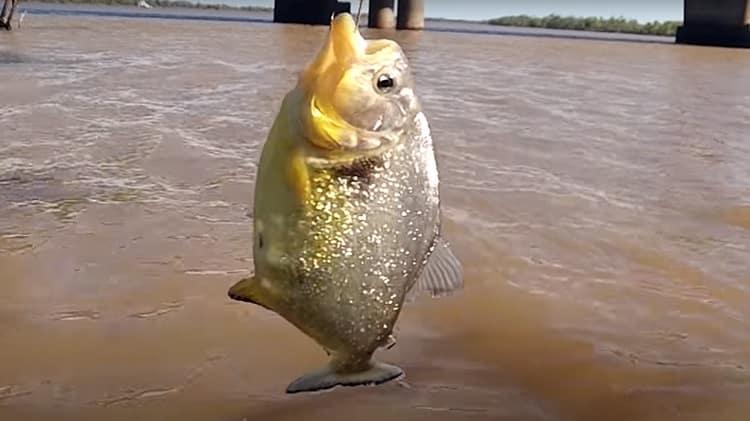 Surgimento de palometas no Jacuí preocupa pescadores do RS