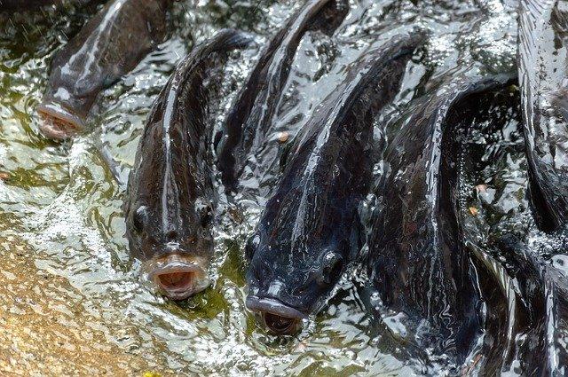 tilápia peixes mais consumidos do mundo